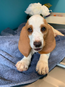 Bassett Hound Puppies - Ready to go to Forever Homes Today.....
