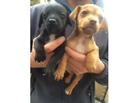 Jack Russell x patterdale puppies