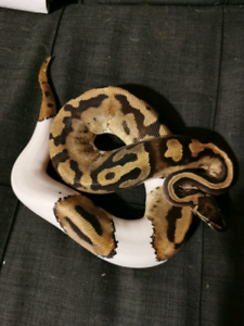 Pied Ball Python | Kijiji in Ontario  - Buy, Sell & Save