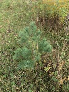 "Mixed coniferous trees From 6"" to 60' Kawartha Lakes Peterborough Area image 5"