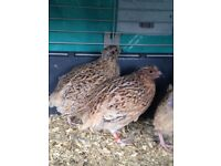 Golden quail