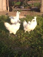 Silky chickens for sale.