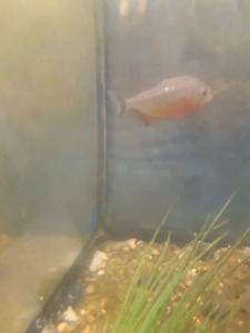Two piranhas for sale 10 gallon tanks and heaters and filters