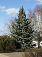 Tree Removal Instant SAME DAY Services Niagara Region