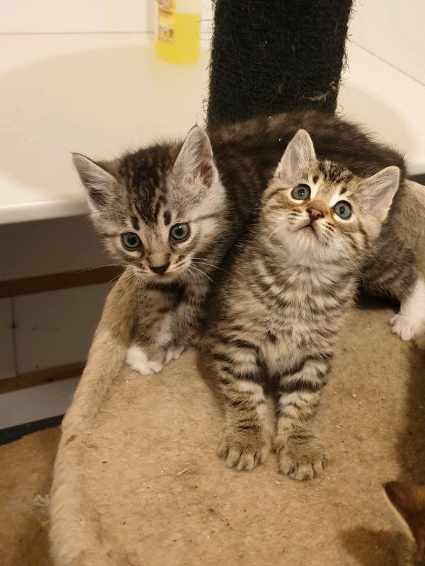 Bencoon Kittens In Huntly Aberdeenshire Gumtree