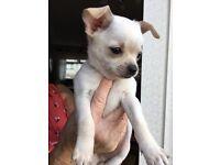 Chihuahua pups. 1 dog,1 bitch