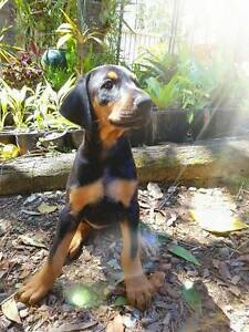 Pure breed Doberman Puppies. 8 weeks old. Narangba Caboolture Area Preview