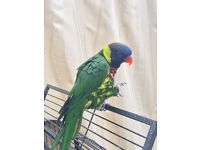 Lorikeet for sale with large cage.