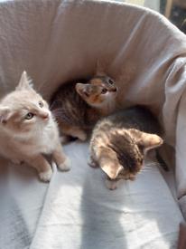 For sale 3 lovely playful kittens 9 weeks old (2boys 1 girl)