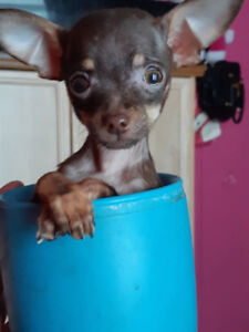 T-Cup Chihuahua