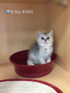 ** Silver & Golden Shaded British Shorthair Kittens READY NOW **