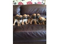 Puggle Puppies Ready Now