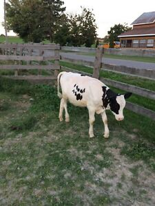 Holstein steer for sale  Peterborough Peterborough Area image 1