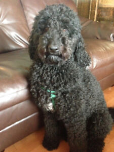 URGENT - LOST - 2 BLACK DOGS - GOLDENDOODLE/POODLE CROSS