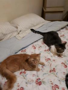 2 chats (mâles) à donner!