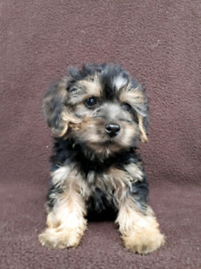 Yorkiepoo puppies for pet homes