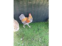 Pair Blue Partridge Wyandotte Bantams for sale
