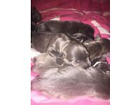 Blue Staff Pups for sale