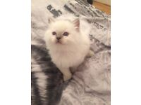 Male ragdoll kitten for sale!