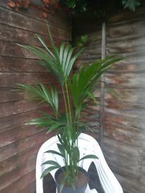 Live healthy Kentia palm plant,