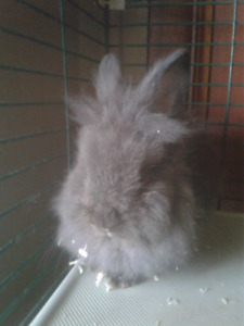 Baby male lionhead