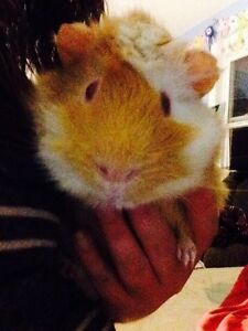 7 month old Guinea pig and cage for sale!