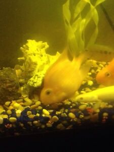 3 blood parrot fish with 20 gallon tank