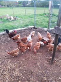 Burford Brown Hens for sale