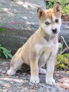 Alaskan Husky pups ready Friday June 1