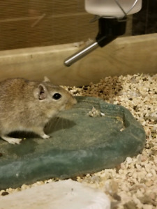 Male gerbil with spoiled setup