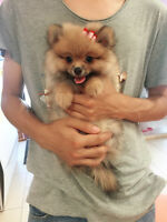 Tiny size adorable Pomeranian girl only~teddy bear faceSOLD