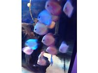 """Mix of 15 discus tropical fish live mix strains red yellow orange grey 2/3"""""""