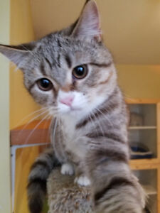Scottish fold and straight kittens need new homes