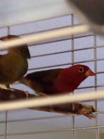 Senegal Firefinches