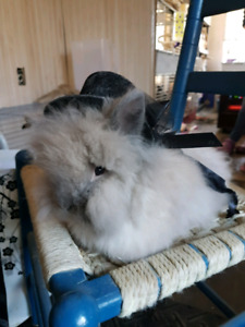 2 ADORABLE Lionhead Bunny Rabbits AVAILABLE NOW