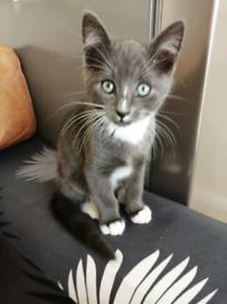 Kittens(mum maine coon x)