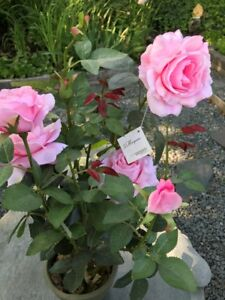 ARTIFICAL ROSE IN PLANT POT
