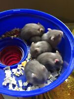 Give away baby dwarf hamster
