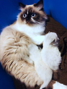 Beautiful Male Ragdoll Kitten Searching For Perfect Home