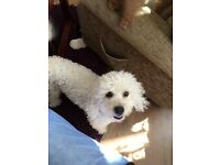 Male Poodle for sale