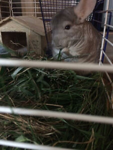 Chinchilla and cage for sale!