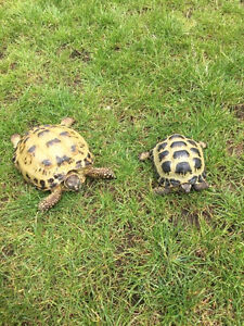 Pair of Horse field (Russian) tortoises for adoption.