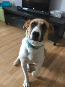 Paws for Love dog rescue has a 2 year st bernard X for adoption