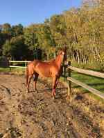 Athletic 3 year old cow bred gelding