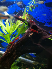 cherry shrimps, tropical guppy fish, assassin snail, plants 10 for £10