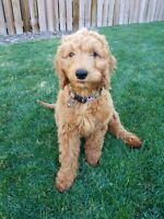 Guardian home for doodle puppy