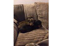 Mini Dachshund Pups KC REG