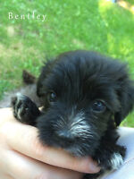 Adorable Morkie Puppies for Sale
