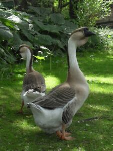 Show Quality African Geese