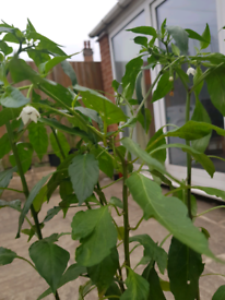 Long green chilli plant. Ready for fruit